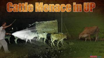 Cattle Menace