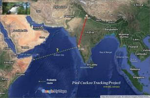 Pied cuckoo map